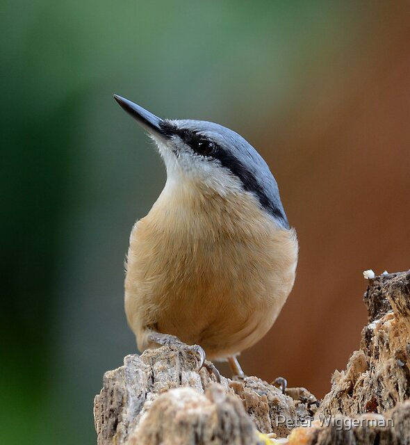 Nuthatch - IV by Peter Wiggerman
