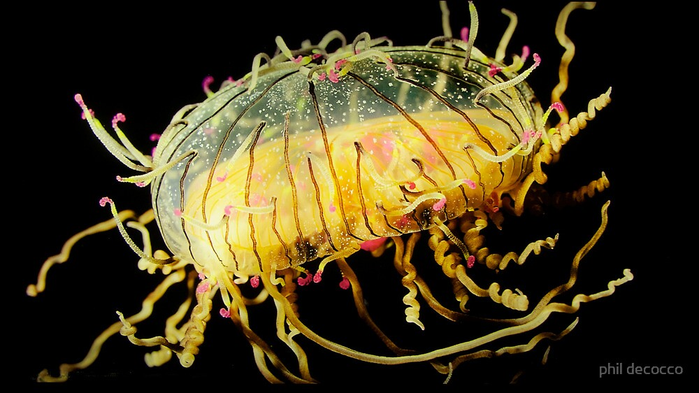 Flower Hat Jelly by phil decocco