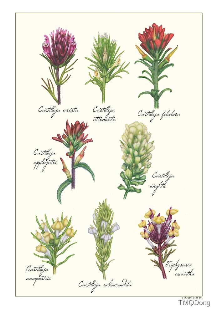 Castilleja wildflowers by TMQDong