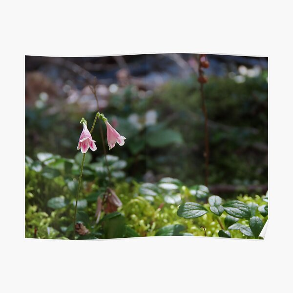Twinflower in the Forest Poster