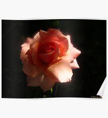 Rose at dusk Poster