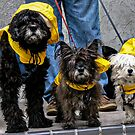 Dogs in Raincoats by Rebecca Dru