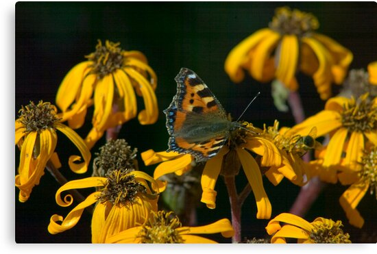 Butterfly - Red Admiral by Chris Martin
