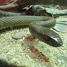 Snake by Kymbo