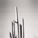 Saguaro Holga Photo by strayfoto
