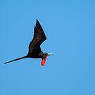 Flying Male Frigatebird by Paul Wolf