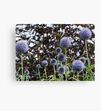 allium flower Canvas Print