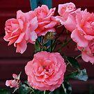 Beautiful Roses by VJSheldon