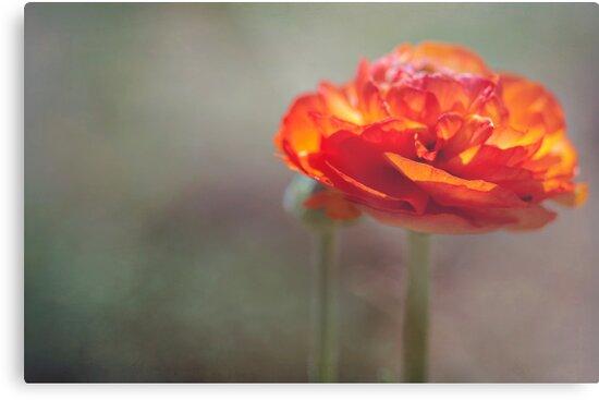 Orange Ranunculus by Clare Colins