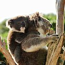 How much can a koala bear? by Leanne Kelly