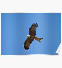 Black Kite Hunting Poster