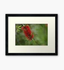 bottle brush flower Framed Print