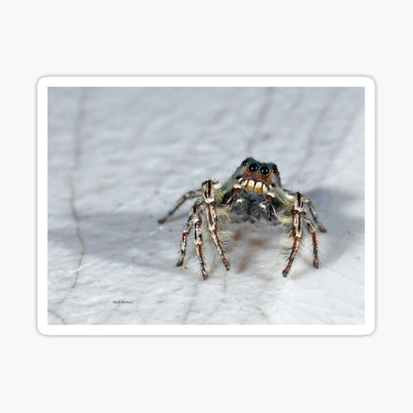 Cute Jumping Spider Checking Things Out Sticker
