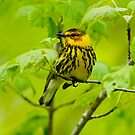 Cape May Warbler by Michael Cummings