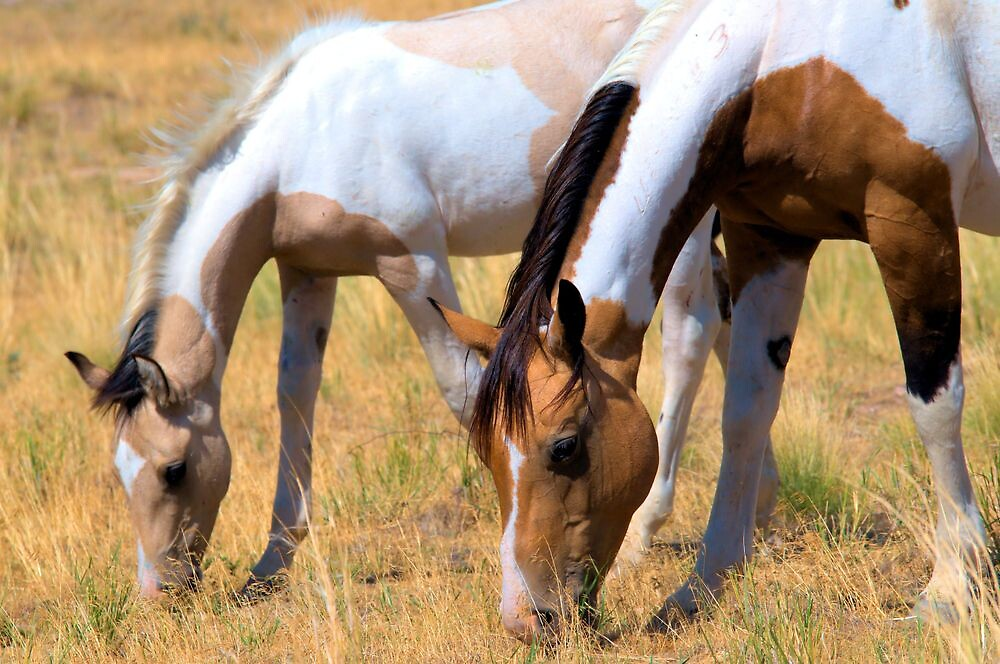 Grazing Pintos by Kelly Jay