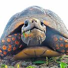 Red footed Tortoise by globeboater