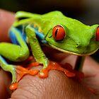 Red-Eyed Treefrog (Agalychnis callidryas)  by bdoherty