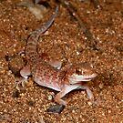 Bynoe's Gecko , Heteronotia binoei -  -  East MacDonald Ranges NT  by john  Lenagan