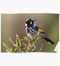 New Holland Honeyeater Poster