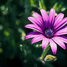 Pink Daisy     (EH) by Ray Warren