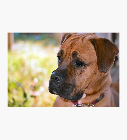 Boxer 2 Photographic Print
