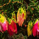 Darwinia lejostyla. by Bette Devine