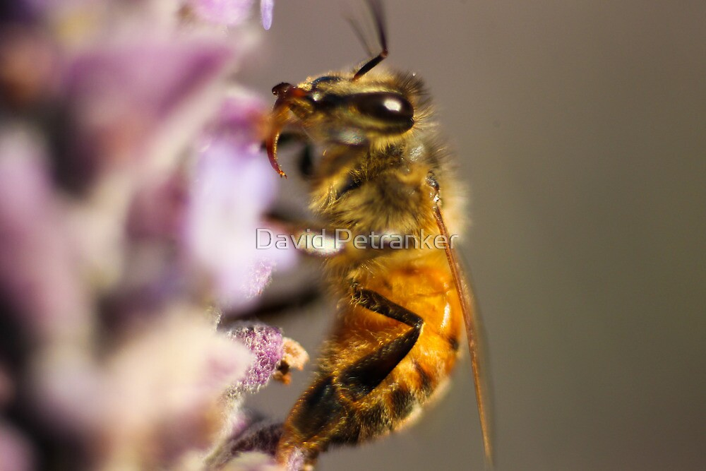 Bee by David Petranker