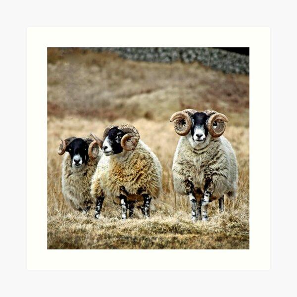 Cairnsmore Rams Art Print