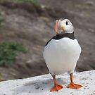 Puffin by Lorna Taylor
