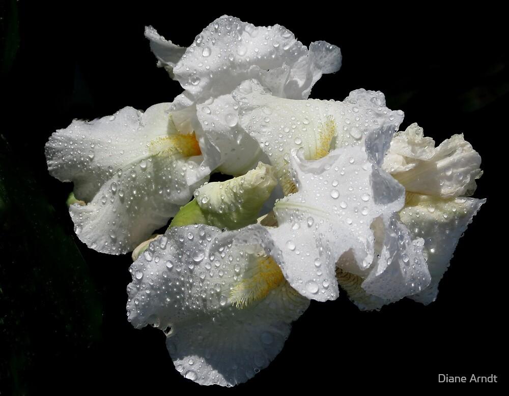 White Iris by Diane Arndt