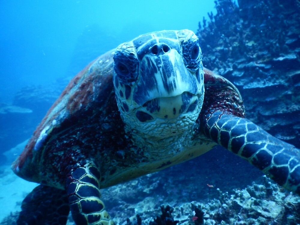 Samoan Green Turtle by Dave Austin
