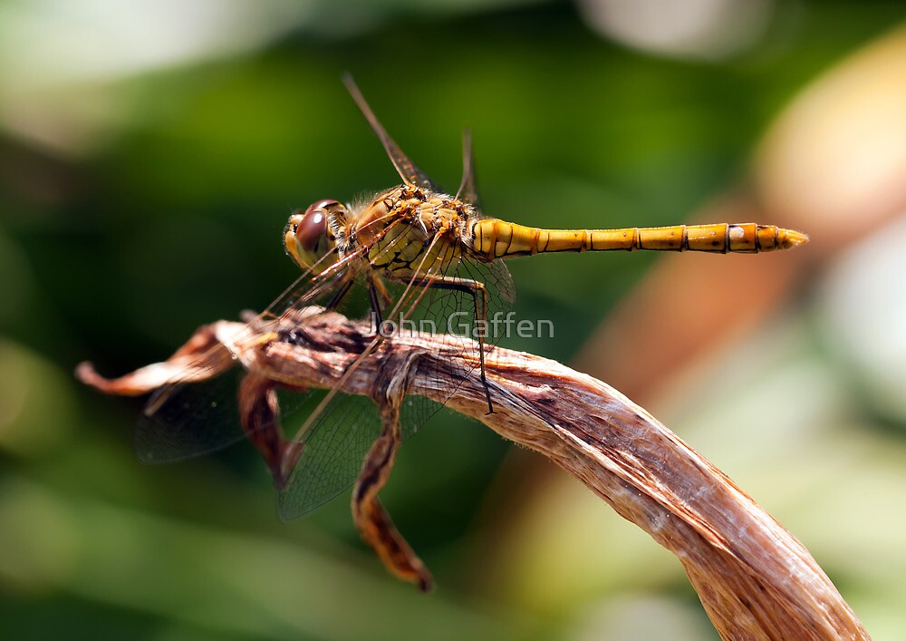 Macro Image of a Dragonfly by John Gaffen