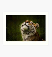 Tiger gazing skyward Art Print