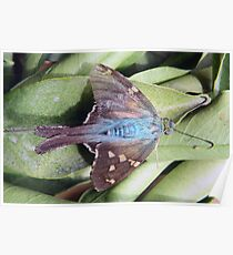 Long Tailed Skipper Butterfly on a Leaf Poster