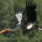"""The flight of the Painted Stork"" by debjyotinayak"
