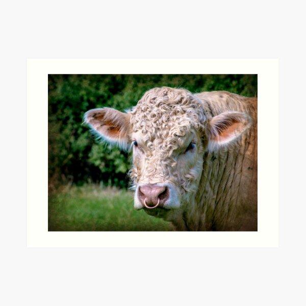 Charolais Bull Art Print