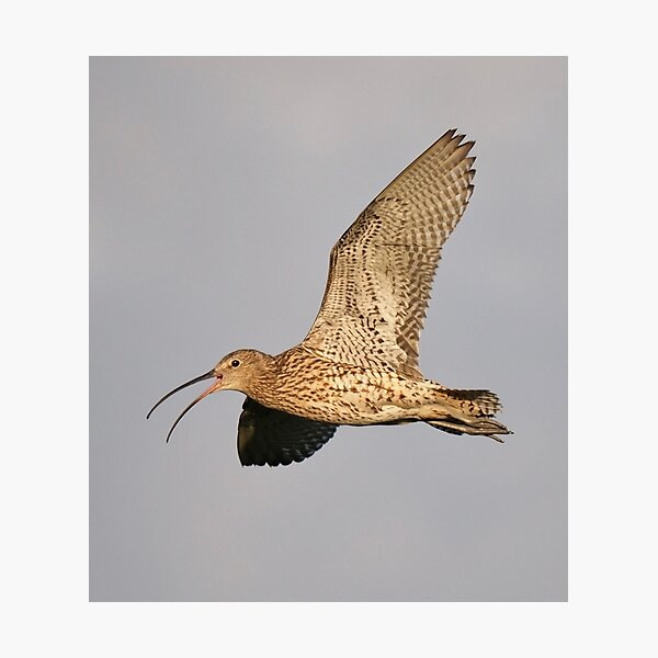 Curlew in flight Photographic Print