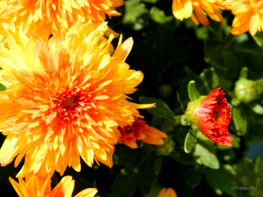 More Mums for Fall by ctheworld