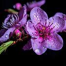 Nectarine blosums by Robert-Todd