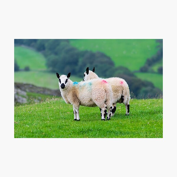 Two Kerry Hill Sheep Photographic Print