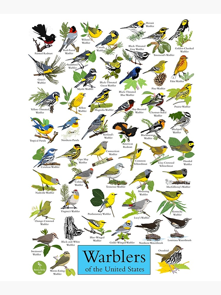 Warblers of the United States by BennuBirdy