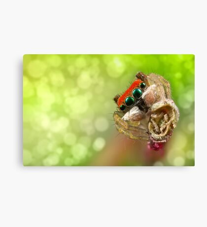 Focus Stacked 'Peacock Jumping Spider' Canvas Print