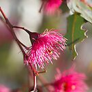 Afternoon Glow - Gum Blossom by Linda Lees