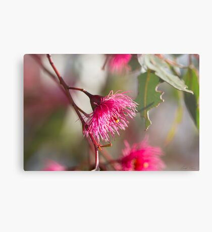 Afternoon Glow - Gum Blossom Metal Print