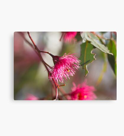 Afternoon Glow - Gum Blossom Canvas Print