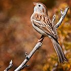 Field Sparrow by Michael Cummings