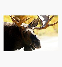 Bull Maine Moose Photographic Print