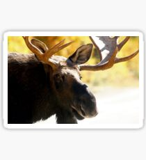 Big Bull Maine Moose Sticker