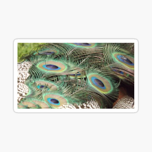 Peacock Tail Sticker