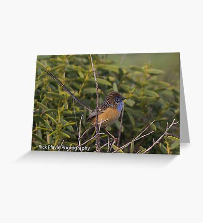 Southern Emu Wren Greeting Card